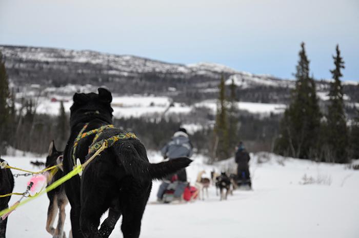 Hunde, Huskys am Schlitten im Schnee von hinten