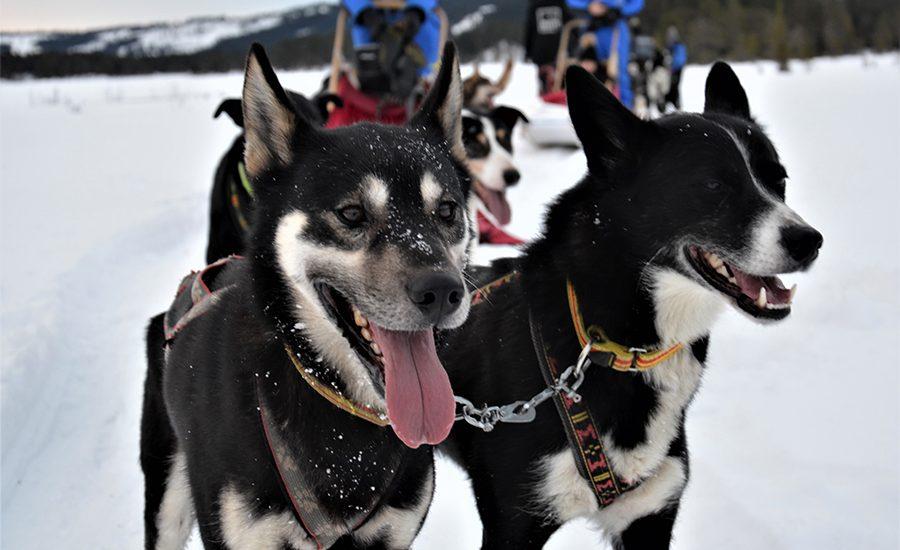 Hunde, Huskys am Schlitten im Schnee