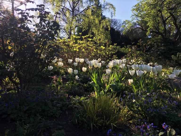 Planten-un-Bloomen-Tulpen-k