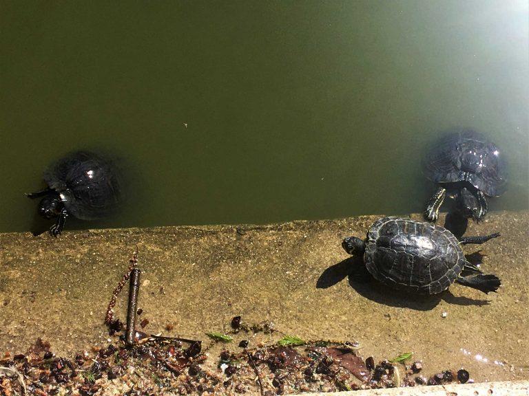 Madrid-Retiro-Schildkröten