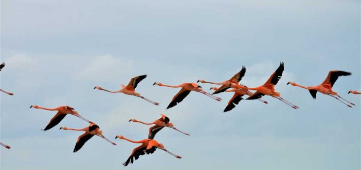 Flamingos fliegend