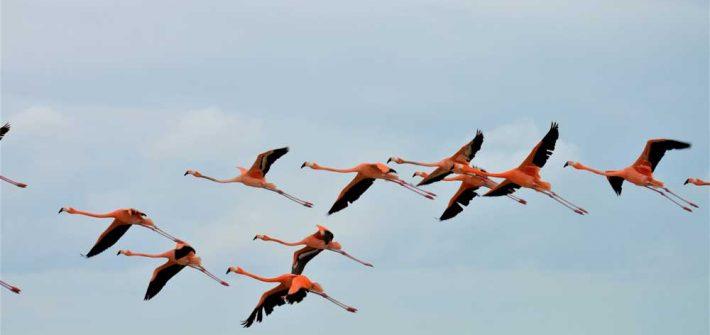 Flamingos fliegend