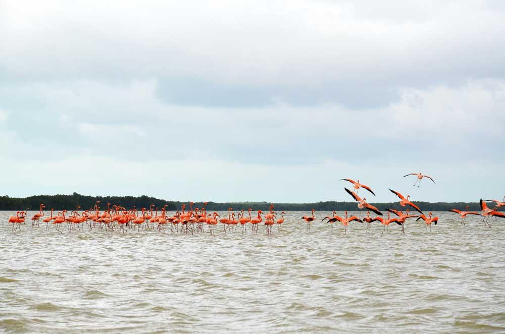 Flamingos-Celestun