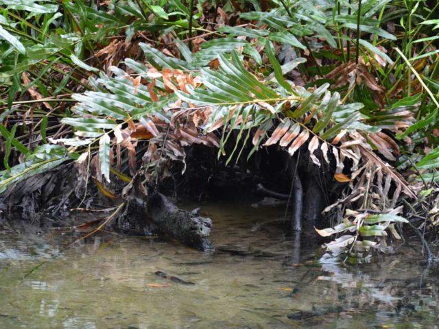 Krokodil-Mangrovenwald