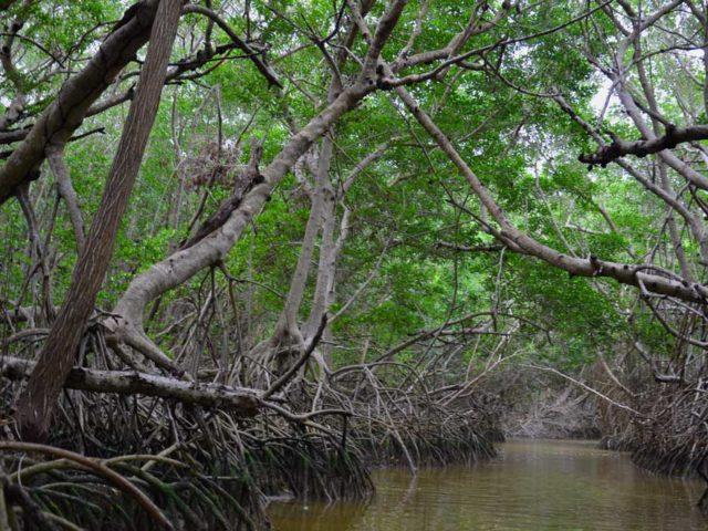Mangrovenwald-Celestun