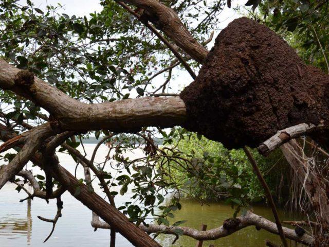 Termitenhügel-auf-dem-Baum