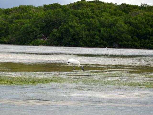 Wasservogel-Celestun