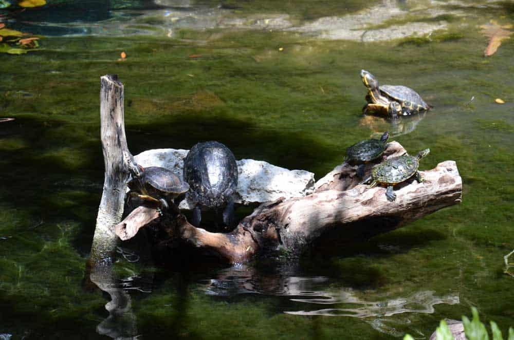 Cenote-Schildkröten